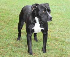 Tuesdays Tails: Adopt This Beautiful 4 year old Pit Bull!