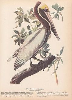 """1942 Vintage AUDUBON BIRDS #261 /""""SANDHILL CRANE/"""" Color Art Plate Lithograph"""