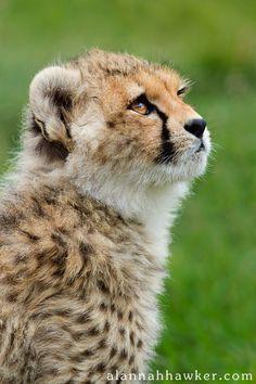 Cheetah Cub Watching Mama.