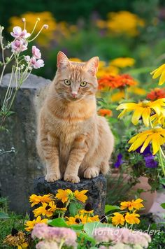Ginger cat in a flowery garden. photographed by Katho Menden