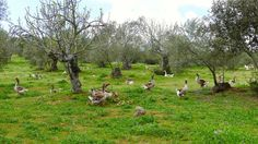 This Spanish Farm Makes Foie Gras Without Force-Feeding