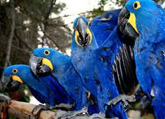 blue macaw - Google Search