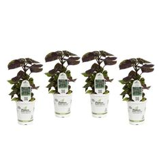 PROVEN WINNERS 4-Pack, 4.25 in. Grande Fishnet Stockings Coleus (Solenostemon) Live Plant,Green and Burgundy VariegatedFoliage-COLPRS1277524 - The Home Depot Blue Geranium, Hardy Geranium, Proven Winners, How To Attract Hummingbirds, Fishnet Stockings, Annual Plants, Live Plants, Hanging Baskets, Flower Beds