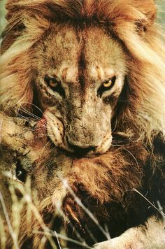 national geographic pictures of lions | serengeti national park tanzania lion vintage national geographic 1986