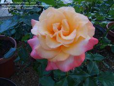 Full size picture of Hybrid Tea Rose 'Summer of Love' (<i>Rosa</i>)