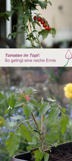 Tomaten in Topf oder Kübel pflanzen und auf dem Balkon oder im Garten ernten Plant tomatoes in pots or pots and harvest on the balcony or in the garden Tips For Growing Tomatoes, Growing Tomato Plants, Growing Tomatoes In Containers, Growing Herbs, Grow Tomatoes, Container Gardening Vegetables, Planting Vegetables, Container Plants, Vegetable Gardening