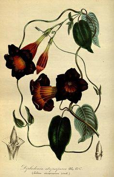 """Louis van Houtte, editor. Plate from """"Flore des serres et des jardins de l'Europe."""" biodiversitylibrary.org/page/15732854"""
