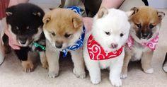日本犬の代表とも言える人気の柴犬。柴犬にも種類があるようですが、毛色の違いや身体の大きさの違いによって性格も変わってくるのでしょうか? そもそも柴犬ってどんな種類があって、どんな性格なのでしょう? 身近でいてあまり知られていない柴犬について色々調べてみました! | 1ページ目 Shiba Inu, Shiba Puppy, Fluffy Animals, Cute Baby Animals, Animals And Pets, Japanese Dog Breeds, Japanese Dogs, Pet Dogs, Dog Cat