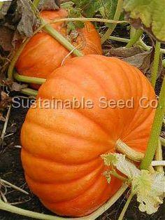 Cinderella Pumpkin Seed - Heirloom Seeds: Sustainable Seed Company