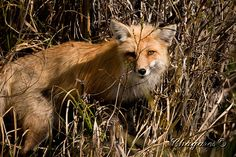 Yellowstone_9991 | Chagares Photography 438 West Main Street… | Flickr