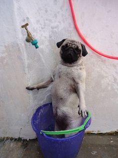 what the pug?: Showers, Animals, Dogs, Pets, Funny, Pugs, Funnies, Shower Time