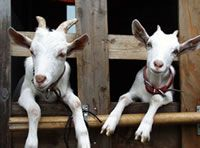 Goats in Japan