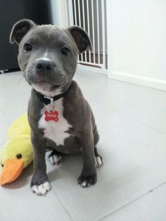 River, the blue nose pit bull pup. I NEED HIM.