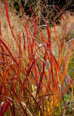 ? iMPERATA CYLINDRICA (Tall and narrow leaves) +  'cloudy' Grasses      _________ Scampston Hall  -- Flickr