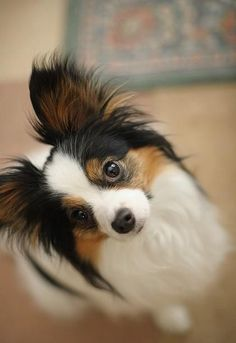 Love them enough to have (6), here!  They're great!  Yes, that's a papillon! Love these little dogs.