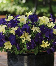 Dark Purple and Lime Green petunias - might be a good combo for the hanging baskets next summer.
