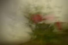 Elusive rose