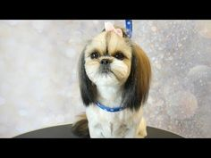 Grooming Guide - How to Groom a Shih Tzu with Top knot, short summer cut - YouTube