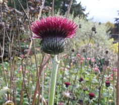 Cirsium in the border