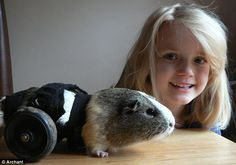Patch the guinea pig gets new lease of life... with rodent wheelchair
