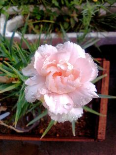 Soft pink carnation after watering, so fresh...
