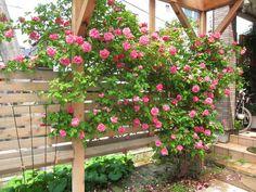 ゼフィリーヌ・ドルーアン バラ Climbing Roses, Climbers, Garden Paths, Beautiful Gardens, Vines, Garden Ideas, Backyard, Gardening, Green