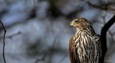 Young Cooper's Hawk Posing by Rhett Herring on 500px