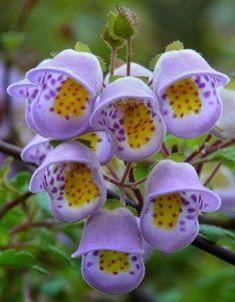 Teacup flower (Jovellana violacea)