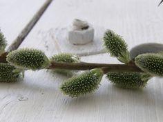 Salix sp. | Flickr - Photo Sharing!