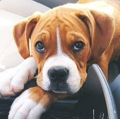 Soo cute! Boxer dog!