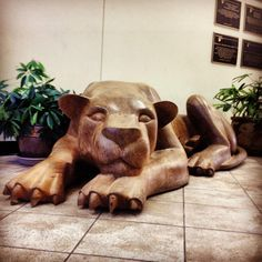 The Lion at rest in the Pullo Center at Penn State York. Via https://www.facebook.com/photo.php?fbid=10152024236900268=a.246451460267.289239.146381745267=1_count=1=nf