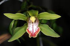 Cymbidium hookerianum 'Sturt' by species orchids