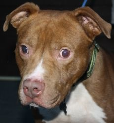 Divide is an adoptable Pit Bull Terrier Dog in Littleton, CO. Divide: Pit Bull, Male, Red, 60 lbs., DOB 06/07, Special Needs: Blind Divide came to us all the way from North Carolina. We traveled with ...