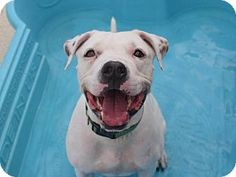 9/16/16 Prospect, CT BRONX - American Pit Bull Terrier Mix. Meet Bronx, a dog for adoption. http://www.adoptapet.com/pet/16430255-prospect-connecticut-american-pit-bull-terrier-mix