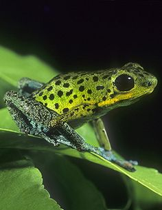 Rare Poison Arrow Frog (Dendrobates Pumilio)