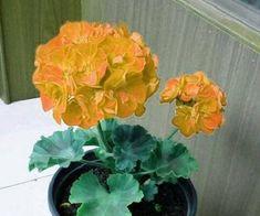 Geranium Golden Dense Ball-shaped Big Blooms Bonsai Flowers 10