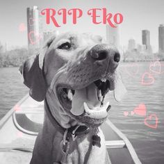 Sweet Eko from @ekoandpenny has passed away and it's devastating Eko, Penny and Will was a great resource and inspiration to us back when we were doing breed research. So so sorry Will, we're thinking of you #weloveekotoo  Photo credit @ekoandpenny #rhodesianridgeback