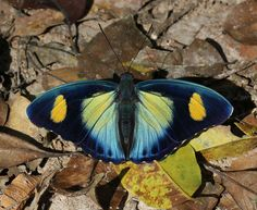 African Butterfly  Google Image Result for http://www.learnaboutbutterflies.com/Euphaedra%2520janetta%25208107-001a.jpg
