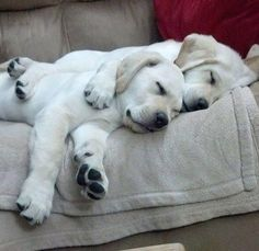 Receive great ideas on golden labrador. They are offered for you on our website…. Receive great ideas on golden labrador. They are offered for you on our website. Perro Labrador Retriever, Cute Labrador Puppies, Cute Puppies, Cute Dogs, Retriever Puppies, Corgi Puppies, Baby Puppies, Awesome Dogs, Tier Fotos