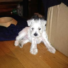 Pretty female white Miniature Schnauzer pups born 12/2/11