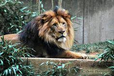 Lion on Flickr.