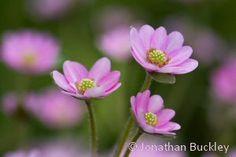 Hepaticas, beautiful delicate alpine plants