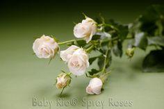Baby Rio® PORCELINA Spray Rose