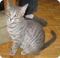 Keswick, ON - Domestic Mediumhair. Meet Shadow (PV) a Kitten for Adoption.