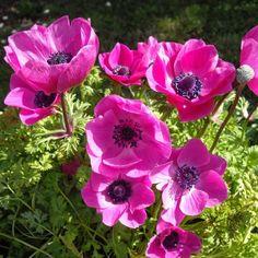 Anemone coronaria Sylphide - Anémone de Caen - Anémone des fleuristes - Anémone coronaire - Anémone des jardins - Anémone couronnée