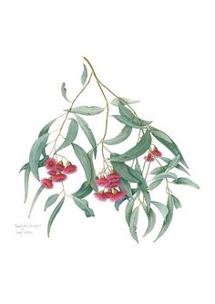 Eucalyptus leucoxylon with red flowers painted in watercolour. An Australian native plant. Australian Wildflowers, Australian Native Flowers, Australian Plants, Plant Illustration, Botanical Illustration, Native Drawings, Tree Branch Tattoo, Watercolor Plants, Watercolour