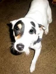 Bentley is an adoptable Jack Russell Terrier Dog in Pelham, NH. Bentley is an adorable 2 1/2-yr-old Jack Russell boy.  He loves being a lap dog. He also does fine with other dogs. He weighs just 13 lb...