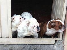 Bulldog ingles bonitos