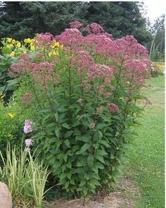Rain garden Joe Pye Weed ~ sweet-scented pollinator, butterflies and bees love it ~ great plant for near wet spots in your yard ~ gets tall, blooms Aug-Oct Bee Garden, Plants, Perennial Garden, Native Garden, Flowers Perennials, Outdoor Plants, Garden, Shade Plants, Rain Garden