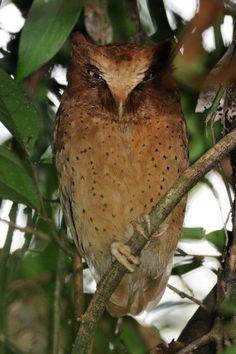 Serendib Scops Owl is the most recently discovered bird of Sri Lanka (from Wikipedia) Owl Who, Beautiful Owl, Birds Of Prey, Owl House, Bird Species, Livestock, Farm Life, Farm Animals, Sri Lanka